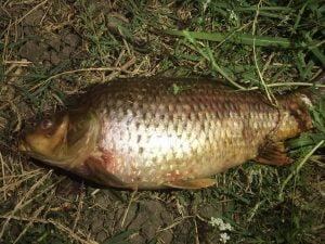 سەیدسادق، ژەهراوییبوونی ماسیی